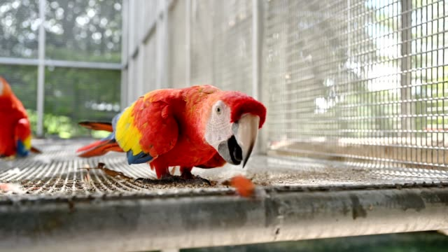 Scarlet Macaw walking in cage