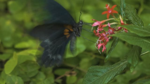 scarlet mormon butterfly on red flower