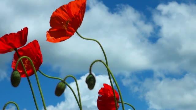 vídeos y material grabado en eventos de stock de amapolas escarlatas en el viento contra un cielo azul con nubes blancas - amapola planta
