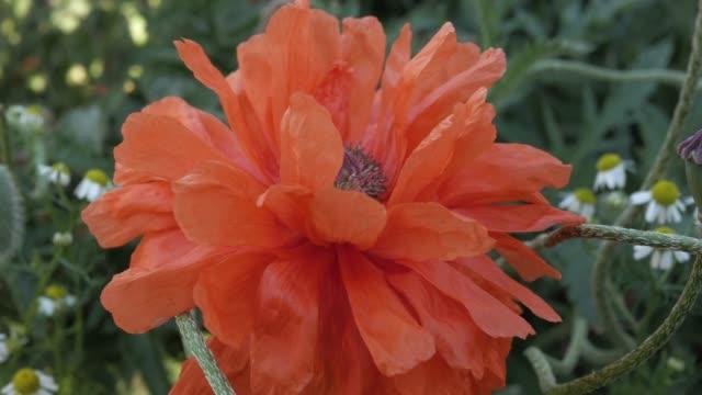 scharlachrote mohnblumen wiegen sich in der sommerbrise - nierenkelch stock-videos und b-roll-filmmaterial