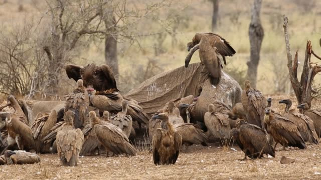 Scavenging white-backed vultures White-backed vultures (Gyps africanus) scavenging on a dead elephant, Kruger National Park, South Africa vulture stock videos & royalty-free footage