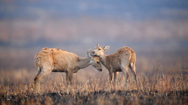 Scene cute of mother and baby hog deers in meadow, Animal in the wild