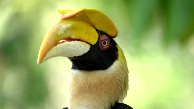 Scene of great pied hornbill, Animal in the wild