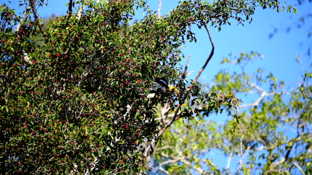 Scene of great pied hornbill on the tree in the forest, Animal in the wild