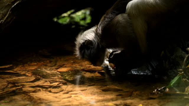 Scene of Southern Spectacled Langur drink water in the nature of Thailand, scene real of animal in the wild