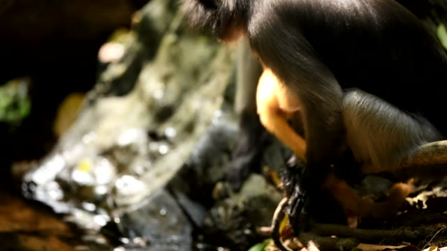 Scene of Southern Spectacled Langur drinking water in the nature of Thailand, scene real of animal in the wild