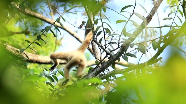 scen av vita gibbons i naturen, djur i naturen, slow motion - gibbon människoapa bildbanksvideor och videomaterial från bakom kulisserna
