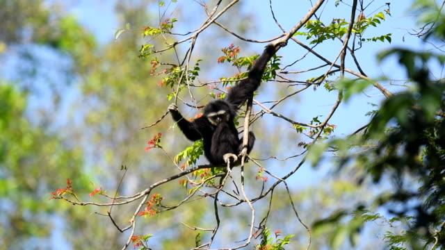 scena di gibboni bianchi nella natura, animale allo stato brado - gibbone video stock e b–roll
