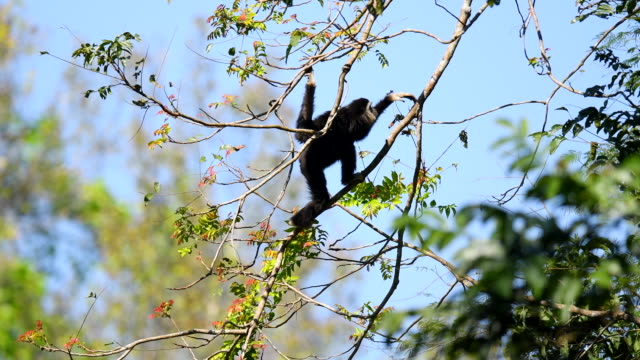 Scene of white gibbons in the nature, Animal in the wild