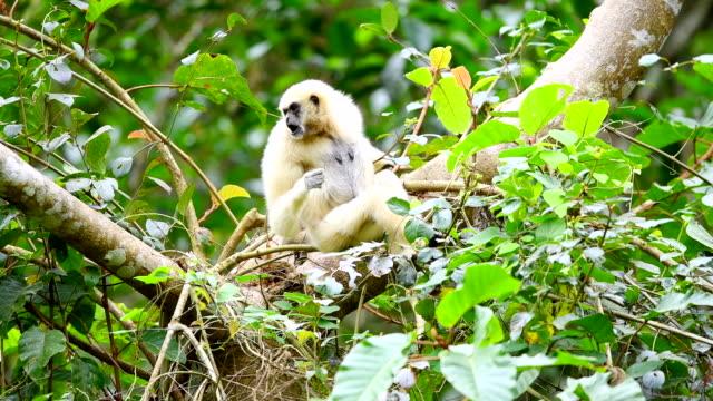 scene of white gibbons in the nature, animal in the wild - gibbone video stock e b–roll