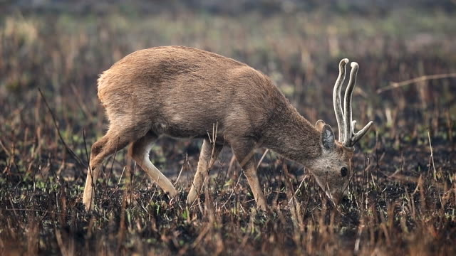 Scene slow motion of hog deers in meadow, Animal in the wild