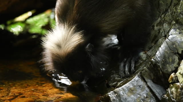 Scene slow motion of Southern Spectacled Langur drinking water in the nature of Thailand, scene real of animal in the wild