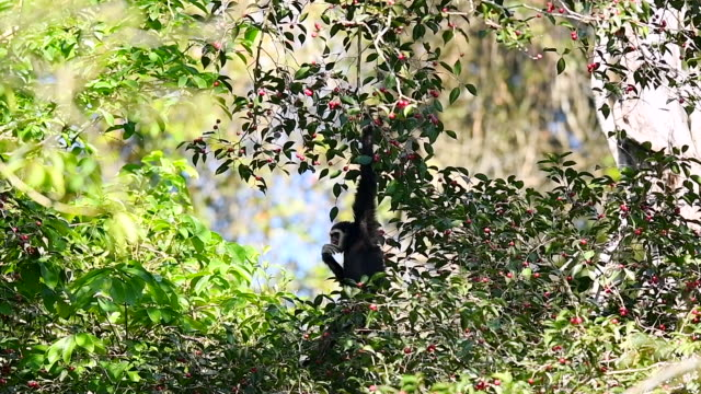 Scene slow motion of white gibbon in the nature, Animal in the wild