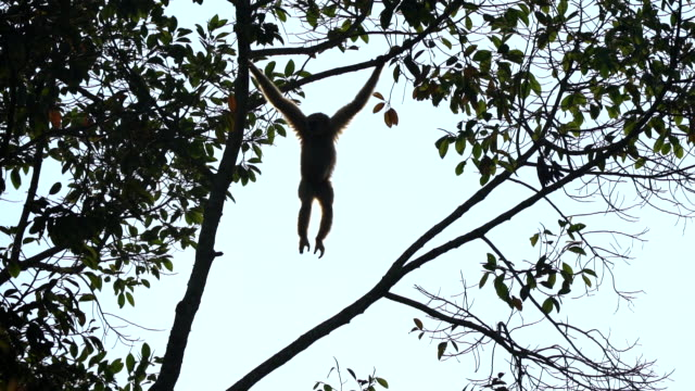 Scene slow motion shot of Pileated gibbon in the nature at morning, Animal in the wild
