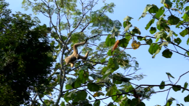 Scene slow motion shot of Pileated gibbon jumping in the forest at morning, Animal in the wild
