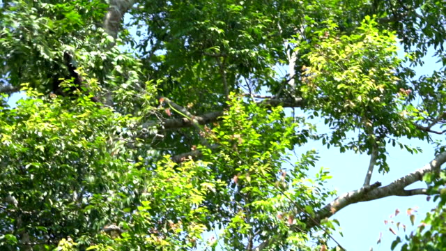 scene slow motion shot of pileated gibbon jumping in the forest at morning, animal in the wild - gibbone video stock e b–roll
