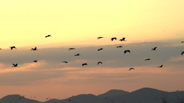 scene slow motion shot silhouette group of birds flying in the sky at sunset, animal in the wild - uccello acquatico video stock e b–roll