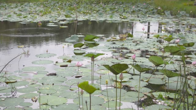 Scenery of natural pond with lotus are growing above the water. Pink water lilies flower are blooming with green leaves in the swamp. Beauty in nature.