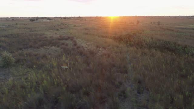 ukrayna'da bozkırda çalışan geyiğin havadan görünümü - benekli geyik stok videoları ve detay görüntü çekimi