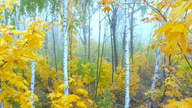 vídeos de stock, filmes e b-roll de paisagem de outono com árvores coloridas, grama e outra vegetação da manhã nevoenta. - bétula
