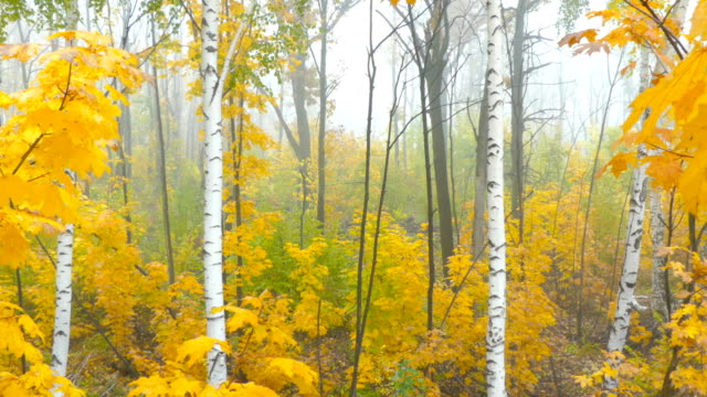 Scenic autumn landscape with colourful trees, grass and other vegetation in the foggy morning. video