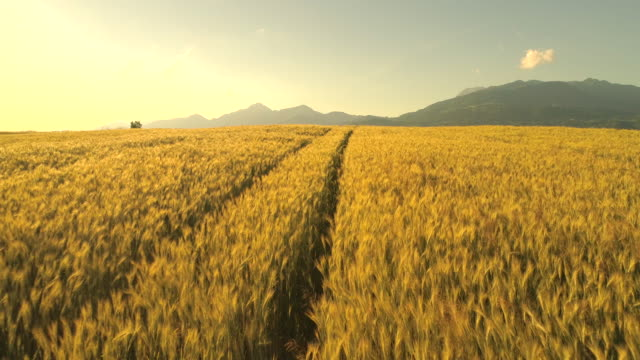 AERIAL: Scenic endless yellow wheat field under rocky mountains at golden sunset AERIAL: Flying above vast yellow wheat field with truck ruts. Rutted road through lush golden cereal field in picturesque countryside at dusk. Ripe rye crops under the rocky mountain on sunny morning wheat stock videos & royalty-free footage