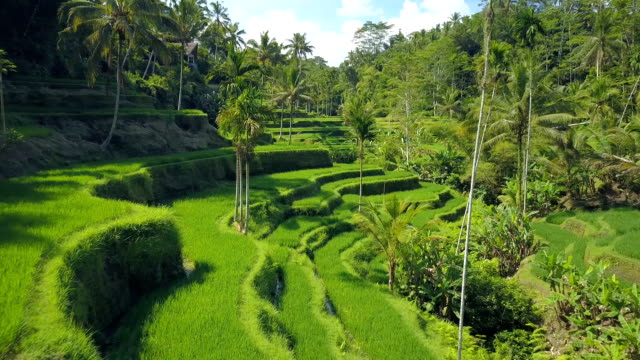 AERIAL, CLOSE UP: Scenic hilly scenery with traditional terraced rice paddies AERIAL CLOSE UP Flying close above undulating verdant rice terraces and coconut palm trees on a hill in Tegallalang, Bali, Indonesia. Amazing rice terraces on traditional rice-growing plantation field rice paddy stock videos & royalty-free footage