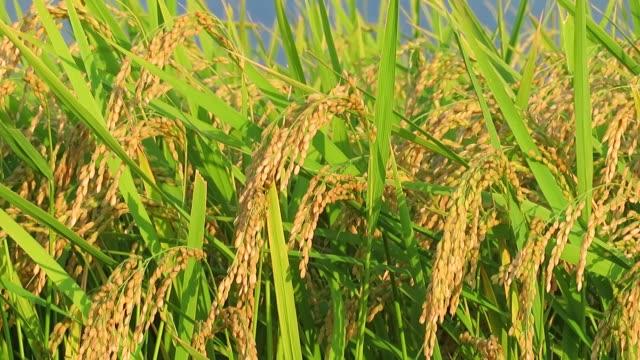 風光明媚な日本の花 - 稲点の映像素材/bロール