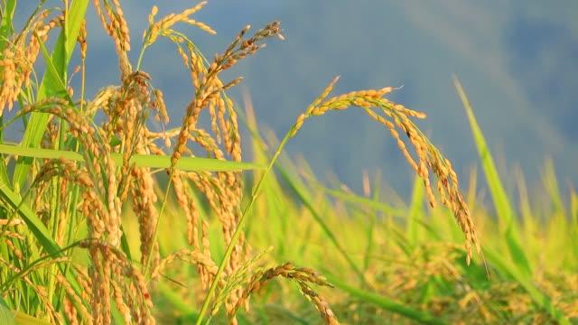 vackra japanska blommor - ris spannmålsväxt bildbanksvideor och videomaterial från bakom kulisserna