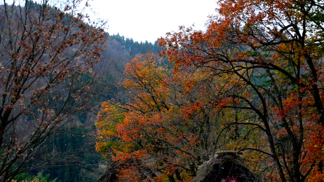 Scenic leaf fall in autumn with leaves falling blown by wind at Shirakawago Takayama Japan. video