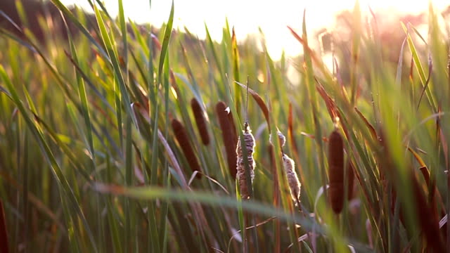 Scenic rural landscape with typha latiopia Close up of sunny meadow full of typha latiopia marsh stock videos & royalty-free footage