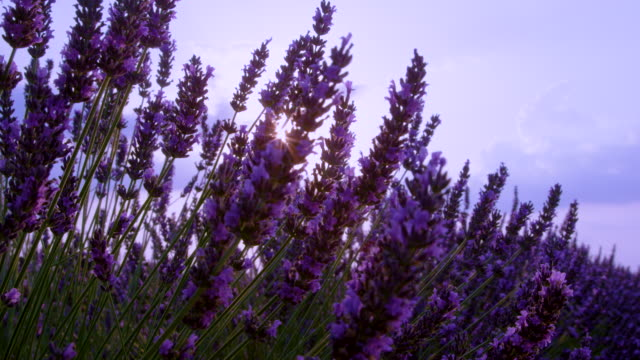 CLOSE UP: Scenic view of a fragrant purple lavender shrub in sunny Provence.