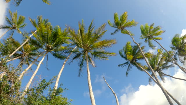 lens flare: scenic view of towering palm tree canopies swaying in the breeze - viale video stock e b–roll
