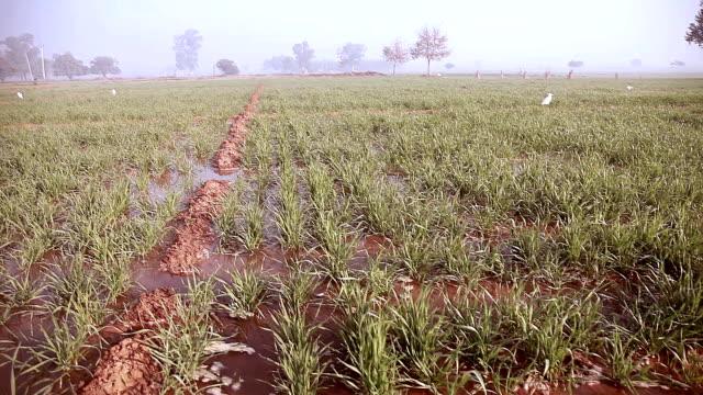 vista panoramica del campo di grano durante la stagione invernale - haryana video stock e b–roll