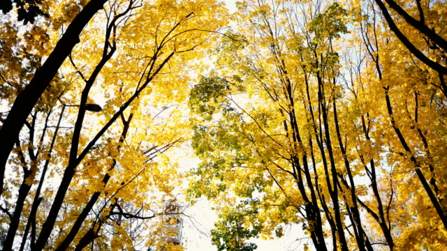vidéos et rushes de vue panoramique des arbres jaunes dans le parc en automne - vue en contre plongée