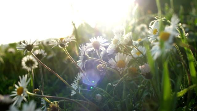 vídeos y material grabado en eventos de stock de aroma de primavera en el despertar de la naturaleza de campo margarita - manzanilla
