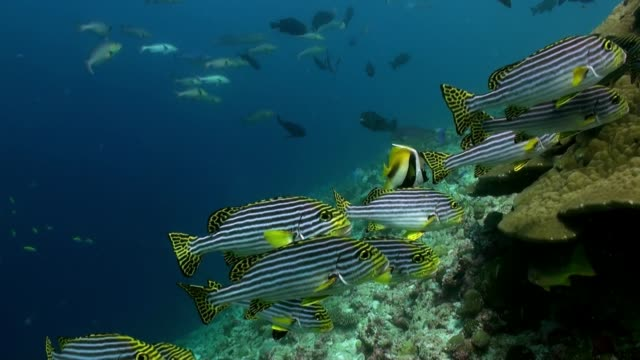 School Flok of tropical striped fish on reef. A flock school of tropical striped fish on the reef in search of food. Amazing, beautiful underwater marine life world of sea creatures in Maldives. Scuba diving and tourism. indian ocean stock videos & royalty-free footage