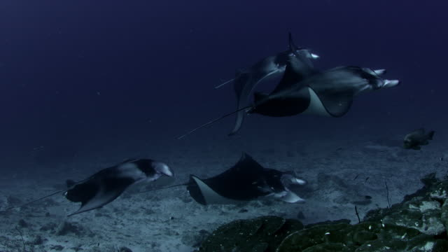 A school of Alfred manta (reef mantas),swimming near a cleaning station in the coral reef A school of Alfred manta (reef mantas), Manta alfredi, swimming near a cleaning station in the coral reef, GAN, Maldives, Indian Ocean arthropod stock videos & royalty-free footage