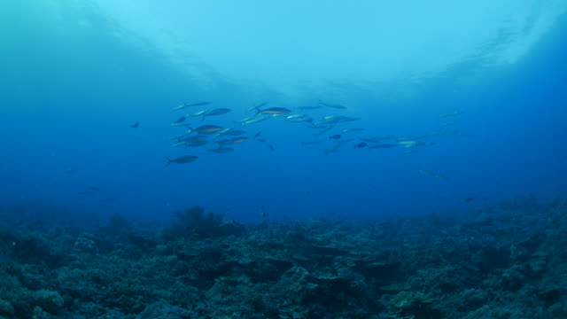 School of barracuda and mackerel undersea video