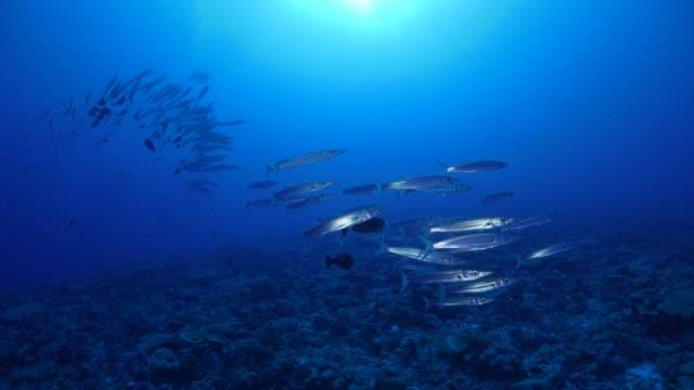 school of barracuda fish undersea - морская рыба стоковые видео и кадры b-roll