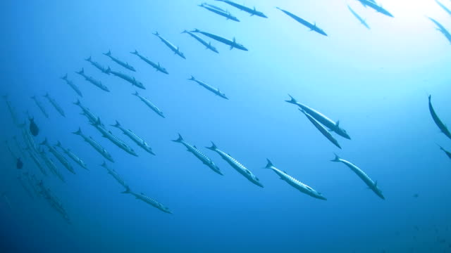 School of barracuda swimming on the surface video