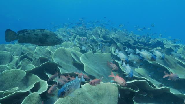 vídeos y material grabado en eventos de stock de escuela de peces patudo nadando en colonia col coral - zona pelágica