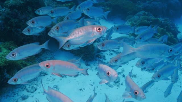vídeos y material grabado en eventos de stock de escuela de peces patudo submarinos - zona pelágica