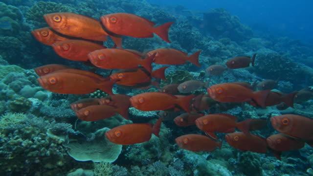 school of bigeye snapper fish in reef - луциан стоковые видео и кадры b-roll