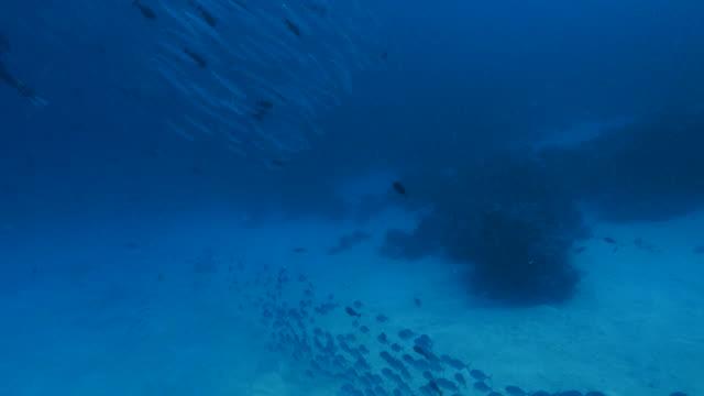 vídeos y material grabado en eventos de stock de escuela de blackfin barracuda y peces gato nadando en arrecife - sea life park