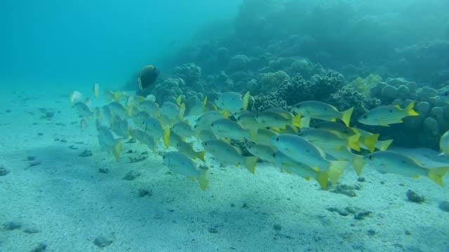 school of blackspot snapper (lutjanus erythropterus) red sea, marsa alam, abu dabab, egypt - морской окунь стоковые видео и кадры b-roll