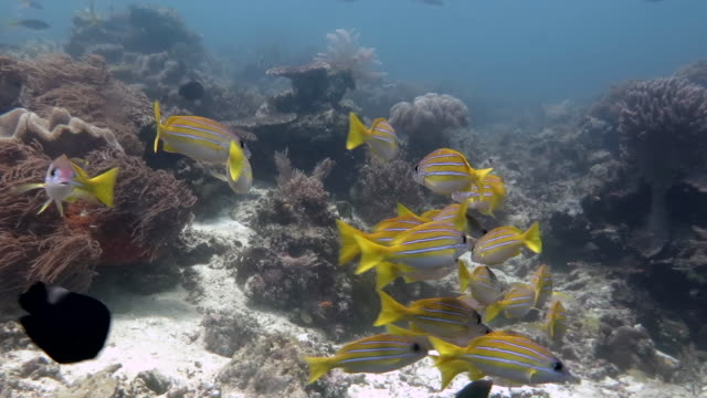 school of bluestripe snapper fish and friends upon corals - луциан стоковые видео и кадры b-roll