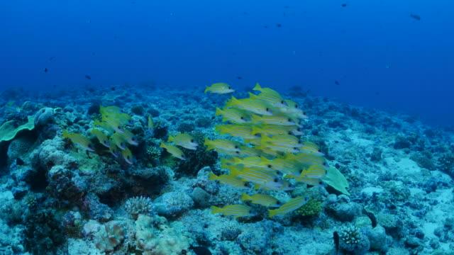 vídeos y material grabado en eventos de stock de escuela de pesca de pargo bluestripe nadar en el arrecife de coral - zona pelágica