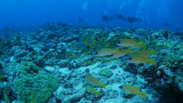 vídeos y material grabado en eventos de stock de escuela de bluestripe pargos pescan submarinos, palau - sea life park