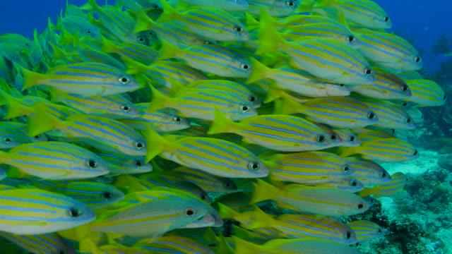 school of bluestripe snapper fish (bluelined) undersea - луциан стоковые видео и кадры b-roll